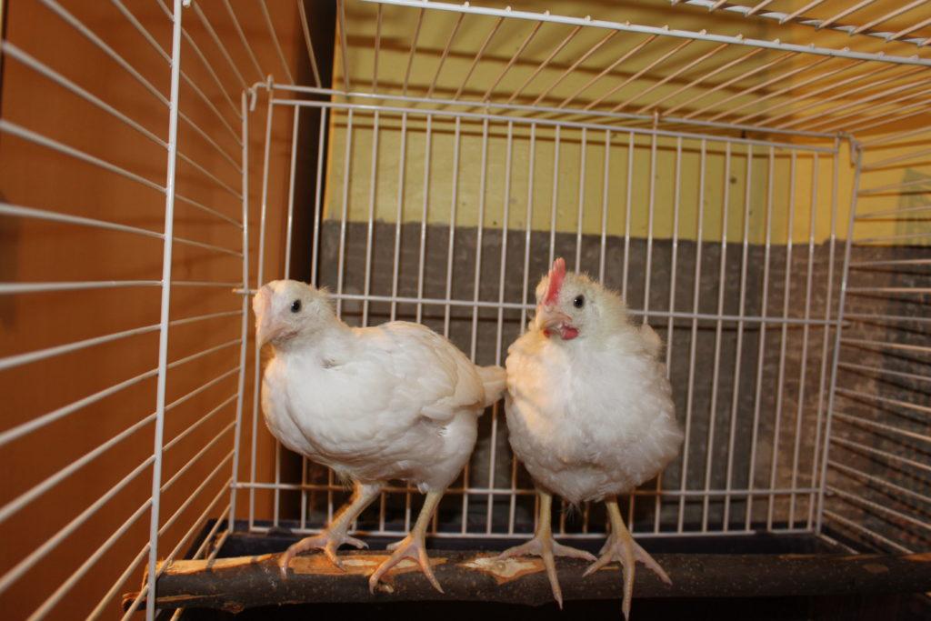 Kycklingar på pinne