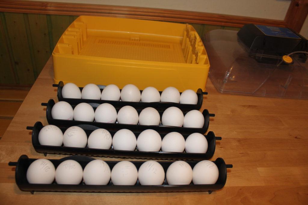 Ägg för kläckning